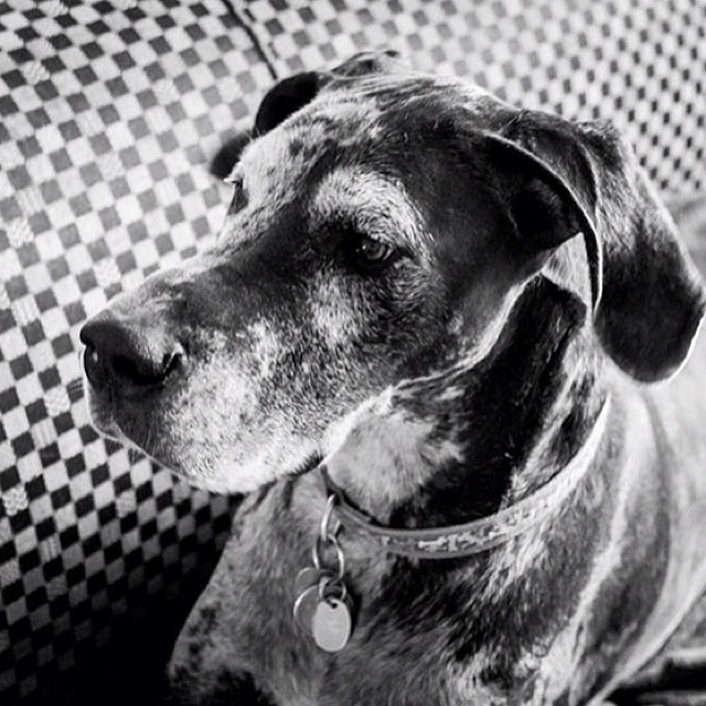 #wilow #dog #greatdane #dane #blackandwhite #bw #instadog #animal #cute